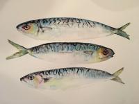 Norfolk Mackerel