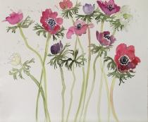 Pink, red and mauve anemone flowersagainst a white background