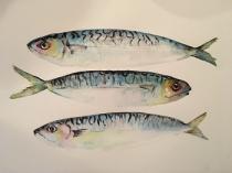 Three mackerel swimming together
