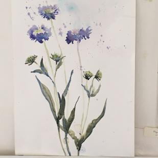 Three blue scabious flowers against a white background