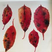 Dark red yellow leaves with characteristic brown/black markings