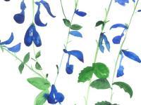Blue-salvia